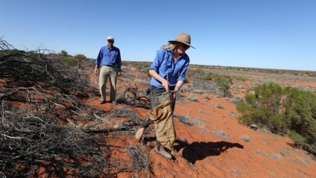 Catch and release: Professor Dan Blumstein and Bec West lay traps for a burrowing bettong at the research station.