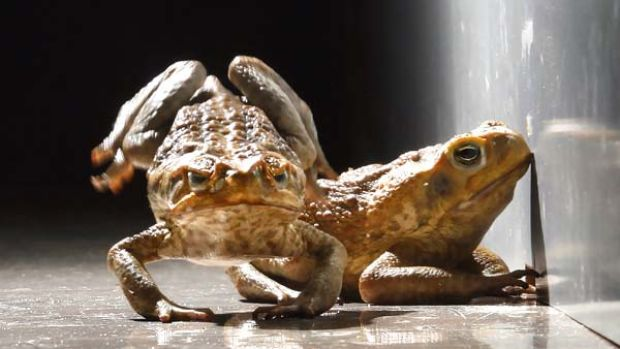Melbourne's cool weather would slow the cane toads down.