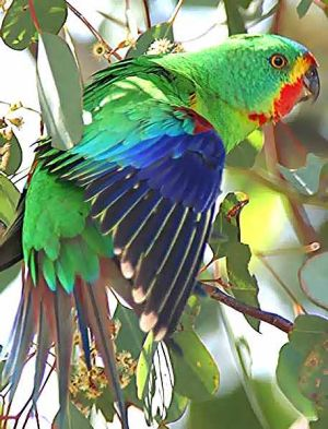 Endangered: The swift parrot.