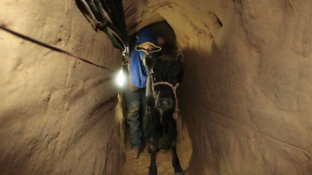 A Palestinian smuggler pushes a calf through one of the 800 tunnels that run beneath Gaza's border with Egypt.