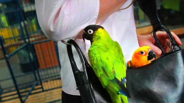 In one of Melbournes more bizarre crimes a well dressed woman stole two Sun Conure Parrots worth around $1500 each by ...