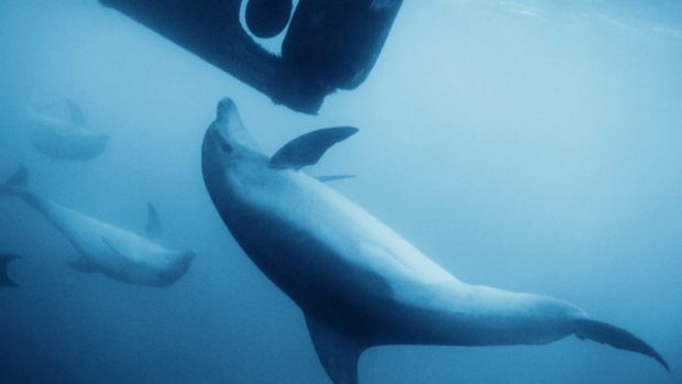 Concern grows for marine life such as these dolphins at play in Port Phillip Bay as the south channel dredging is ...