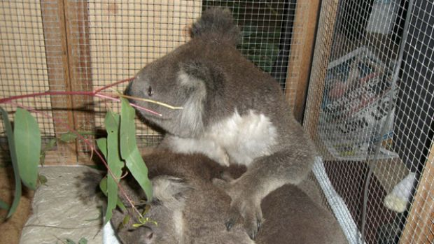 A koala named Bob (top), rescued from last week's deadly bushfires, puts his paw around new friend and fellow fire ...