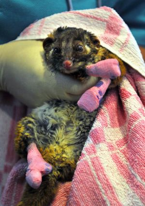 Animals being treated with the utmost care at Healesville Sanctuary include a ringtail possum.