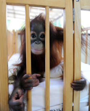 "Tourists gawk at baby orang-utans in the nursery at a self-styled ""rehabilitation and preservation centre"" in Bukit ..."