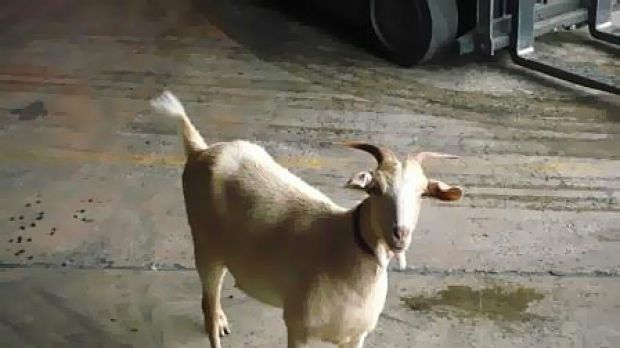 Red, the nanny goat, has disappeared from her Clayton home.