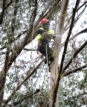 Matt Atwell saws off a branch heavy with seed pods on a mountain ash tree.