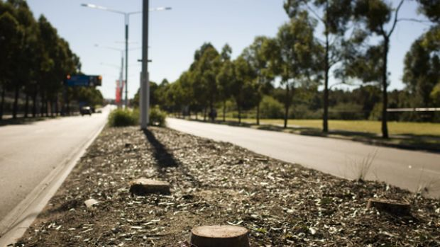 Median stripped ... trees that have been lopped down along Australia Avenue in Homebush Bay to make room for the V8 ...