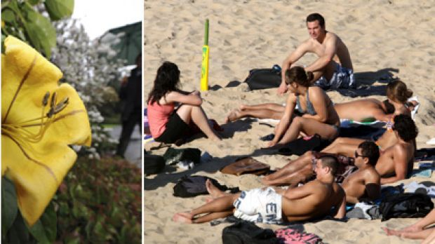 A golden chalice vine flower blooms unusually early at Melbourne's Botanic Gardens (left) and beachgoers at Wollongong ...