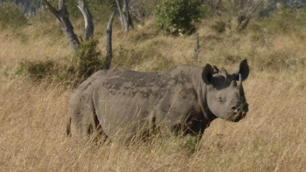 In South Africa, poachers kill one rhino every eight hours.