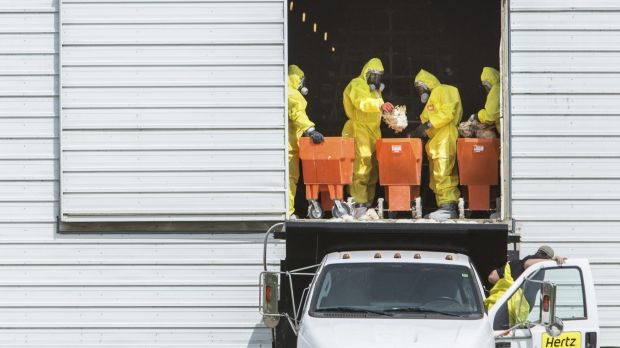 Workers discard dead chickens at a farm in Iowa after an avian flu scare.
