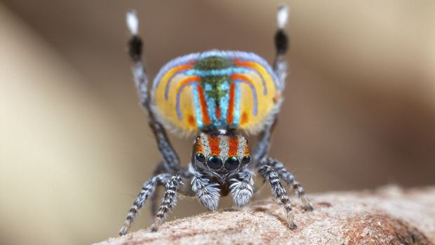 The flamboyant Maratus volans.