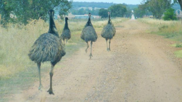 Emu! View out the front windscreen of the yowie mobile on a road near Narrandera.