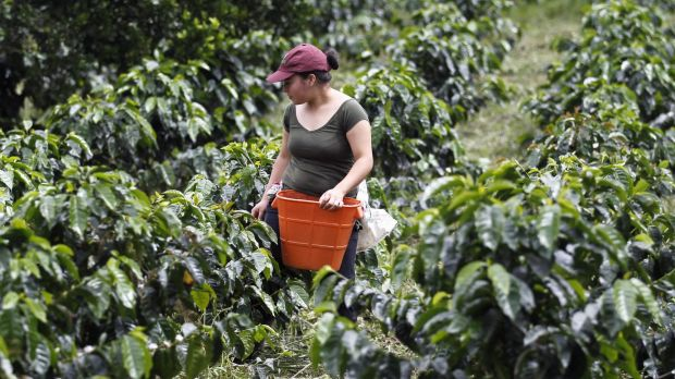 Global coffee production last year dipped three 3 per cent on 2013 figures.