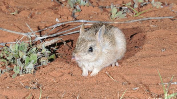 Western barred bandicoots will also be introduced into large fenced areas in NSW.