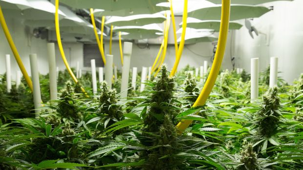 British Columbia facility Broken Coast Cannabis, where legal medical grade marijuana is grown hydroponically.