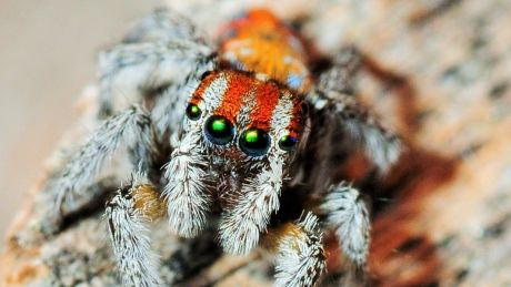 On Spinder, when students find an Australian Peacock Spider with traits they like and swipe to the right, those traits ...