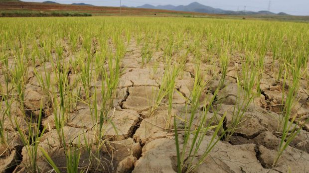 Rice plants grow from the cracked and dry earth in Ryongchon-ri in North Korea in 2012. The country is again in the ...