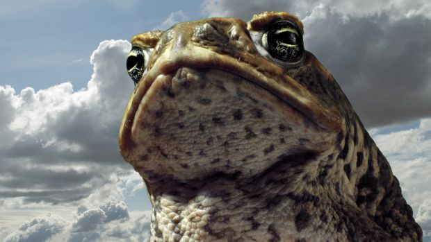 The cane toad has been a disastrous invasive species in Australia.