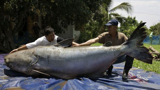 The World Wildlife Fund says the Giant Mekong Catfish could become extinct if more hydro power dams on the Mekong go ahead.