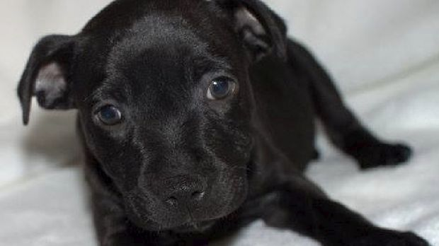 Torro was purchased from a Perth puppy store and was later found to have come from a puppy farm.