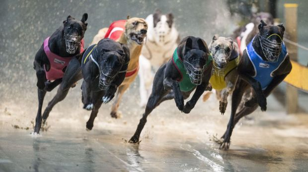 The NSW Special Commission of Inquiry may recommend greyhound racing be shut down.