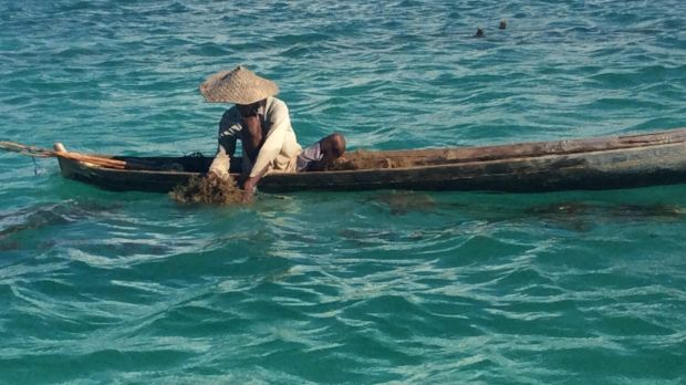 Nikodemus Manefa collects seaweed off the east coast of Rote island last month.