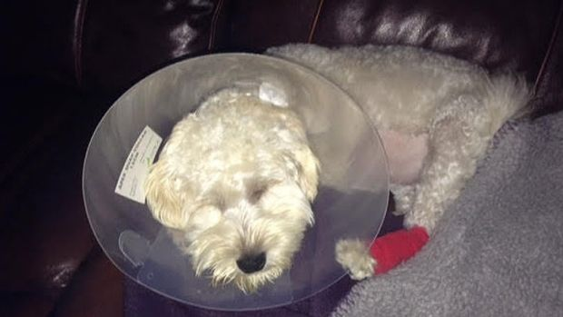 Caroline's schnoodle Leo shortly after his liver operation.