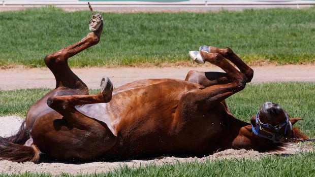 Home from home: Red Cadeaux will make his fifth visit to Australia for the Melbourne Cup.