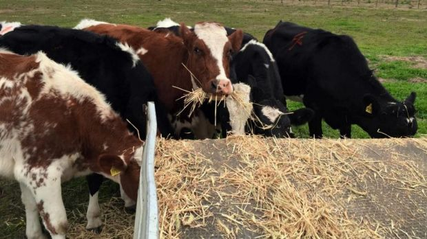 cows relaxing after navigating a maze at Sydney University's May Farm