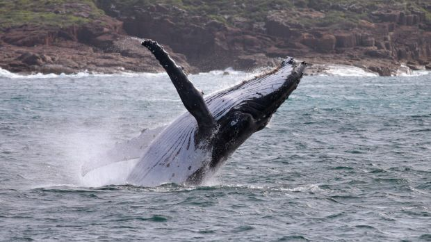 A whale off Port Stephens, NSW, Australia.