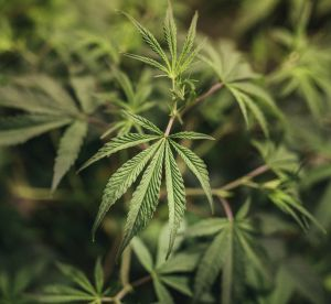 A cannabis extract will be used to treat some children with severe epilepsy.