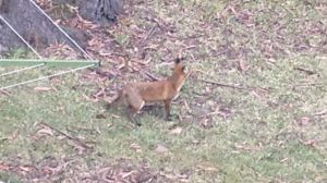 The prime suspect photographed by Mrs Boyd in her yard.