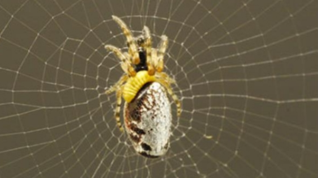 A parasitised spider on an orb web.