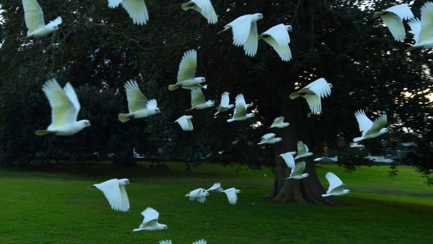 100 corellas died last year.