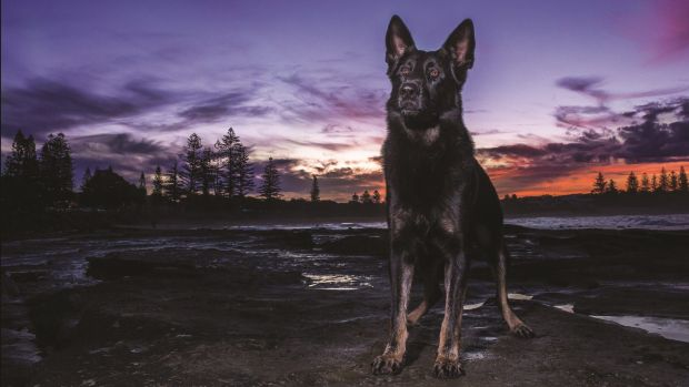 Police dog Heeko from the Sunshine Coast is one of the stars of the 2016 Queensland Police Dog Calendar.