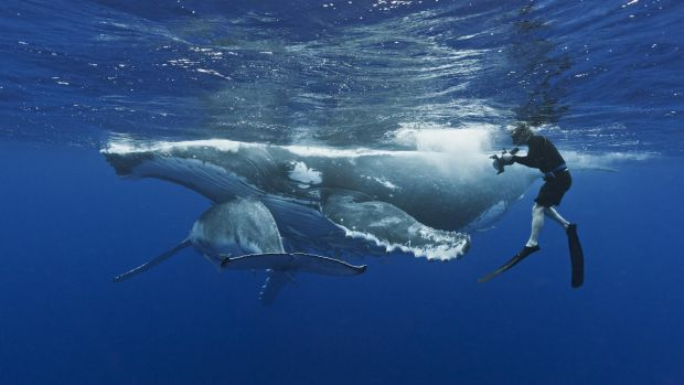 A humpback whale mother and calf.