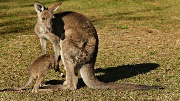 A female kangaroo helps her young into her pouch.