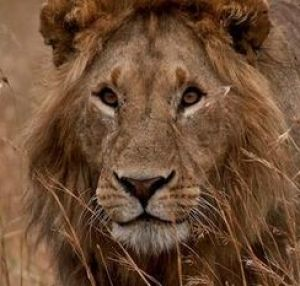 Cecil the lion was killed by a trophy hunter in July, sparking worldwide outrage.