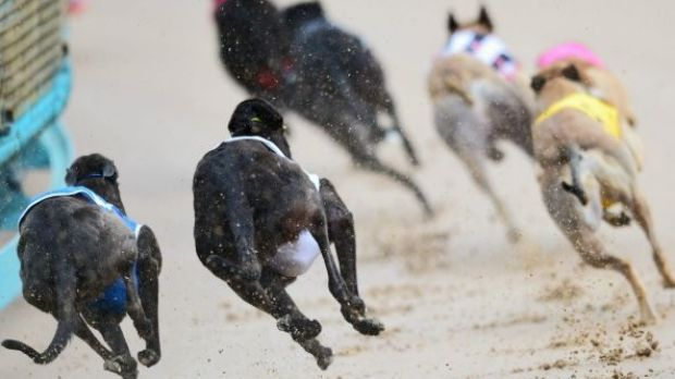 "The NSW greyhound industry was predicated on ""the mass slaughter of healthy young dogs"", inquiry hears."