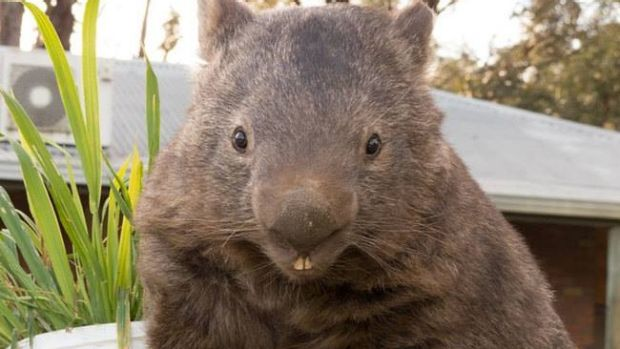 Quite the looker: Patrick the wombat