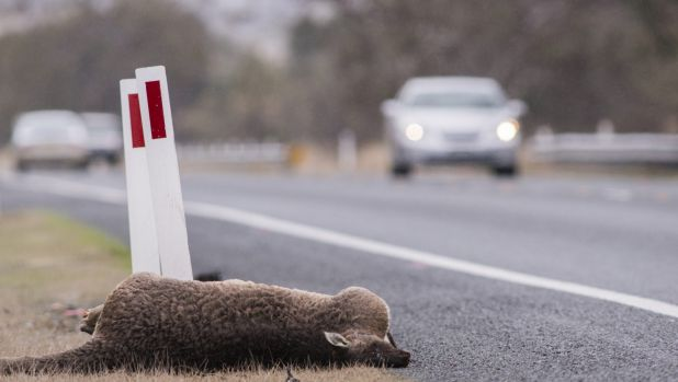 One of many dead kangaroos on the road from Canberra to the snowfields..