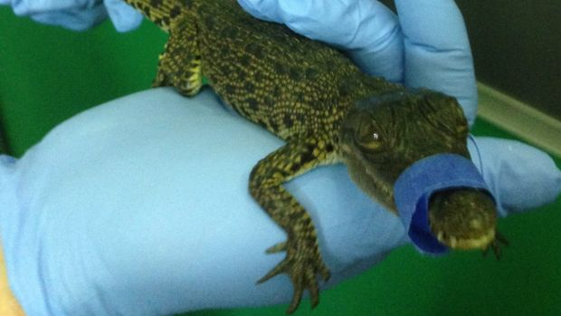 The crocodile found in the boot of a Hervey Bay man at Brisbane Airport.