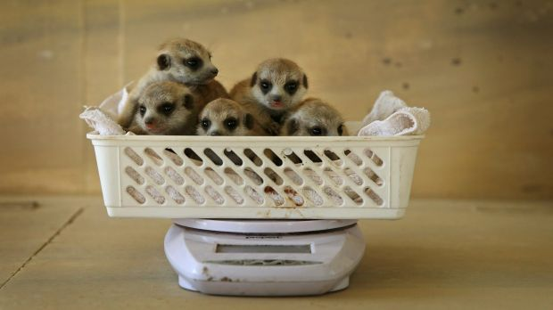 The five meerkats, born on August 2, have had their weigh-in and heath check.