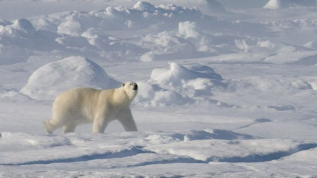 A polar bear on the ice floe in Baffin Bay above the Arctic circle, where the ice is melting.