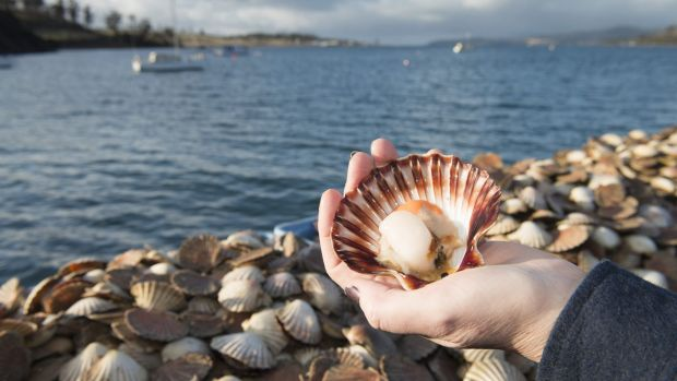 Scallops caught by Aqua Marine Tasmania pictured at Deepwater Jetty in Triabunna, east coast of Tasmania.