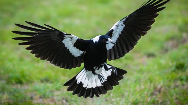 Magpies have started swooping again in Canberra.