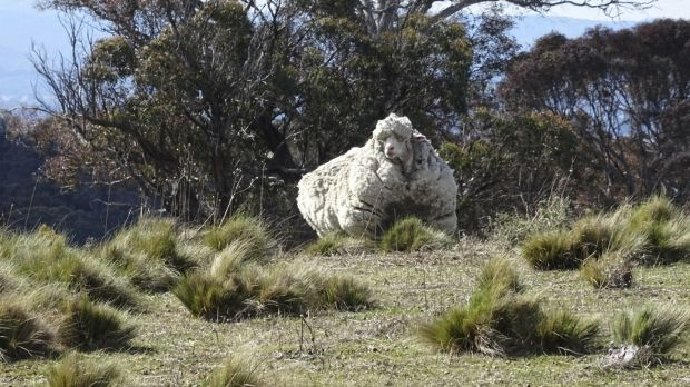 The large sheep on Mulligans Flat.