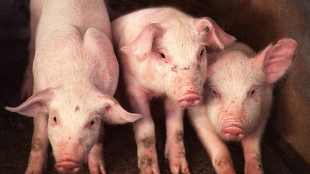 Blood from a donor who ate pork in the South of France has infected a six-year-old Australian boy with hepatitis E.