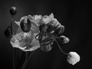 Emerging - poppies, 037, 2015. Bowness photography prize finalist, 2015.